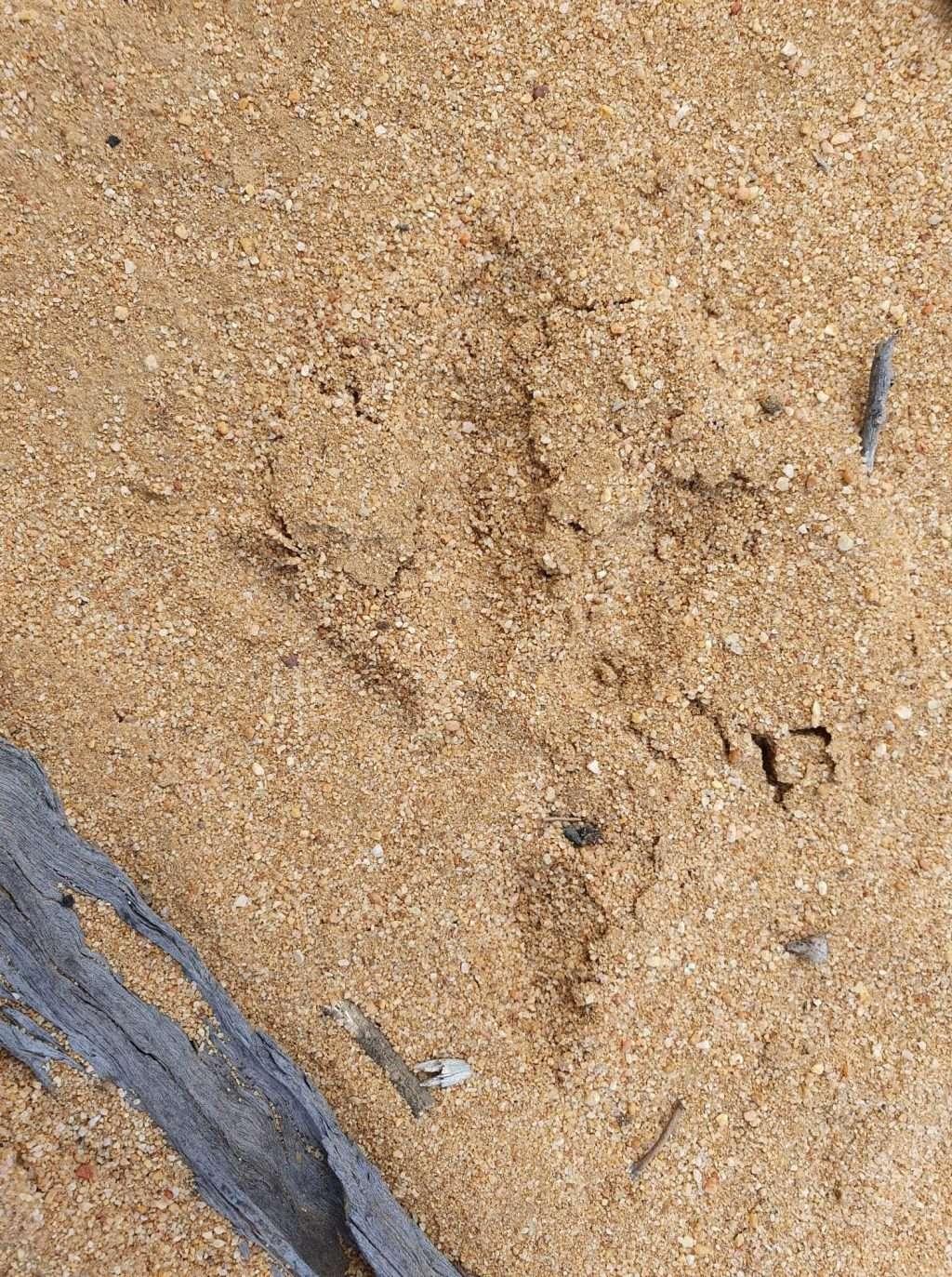 WABARL (BADIMIA LANGUAGE FOR MALLEEFOWL LEIPOA OCELLATA) FOOTPRINT. PHOTO BY JARNA KENDLE, NACC NRM